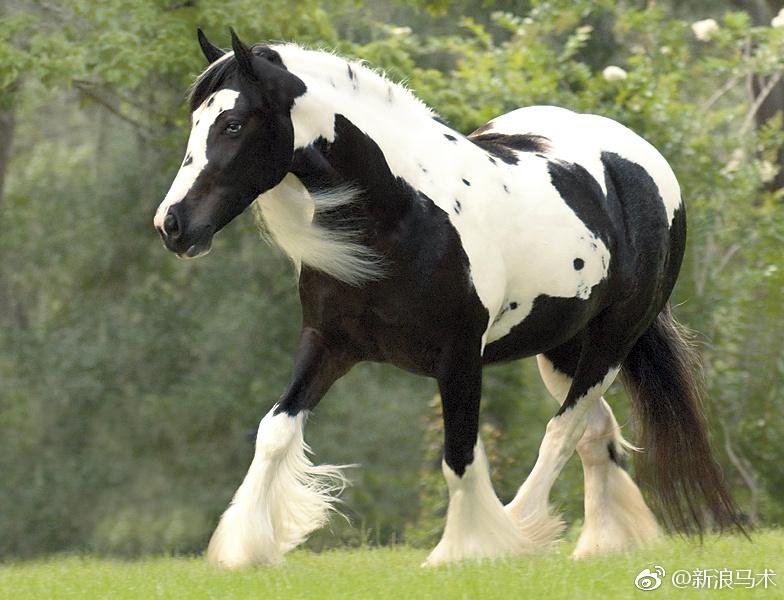吉卜赛马身型短小精悍,肌肉十分发达,生于大不列颠群岛