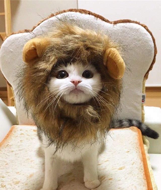 猫奴是猫咪头套狂热者,看看这可爱的鲷鱼烧面包喵星人