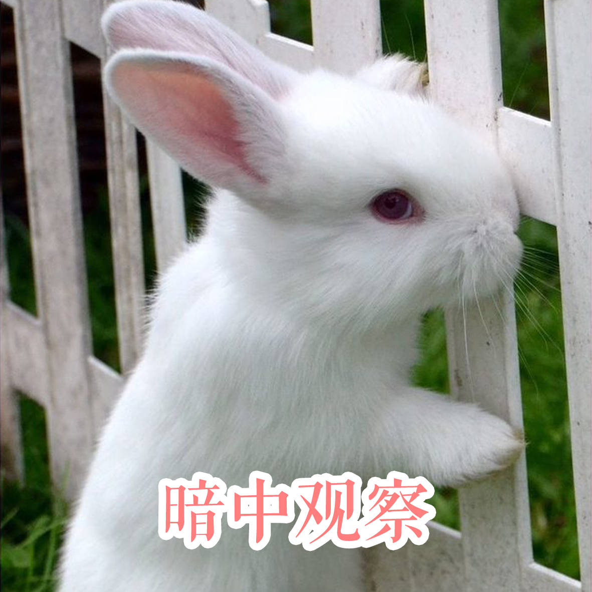 兔子壁纸狗狗狗心得1181_1181放生鸽子动物图片