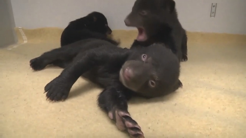 动物皆萌:黑熊宝宝的可爱日常