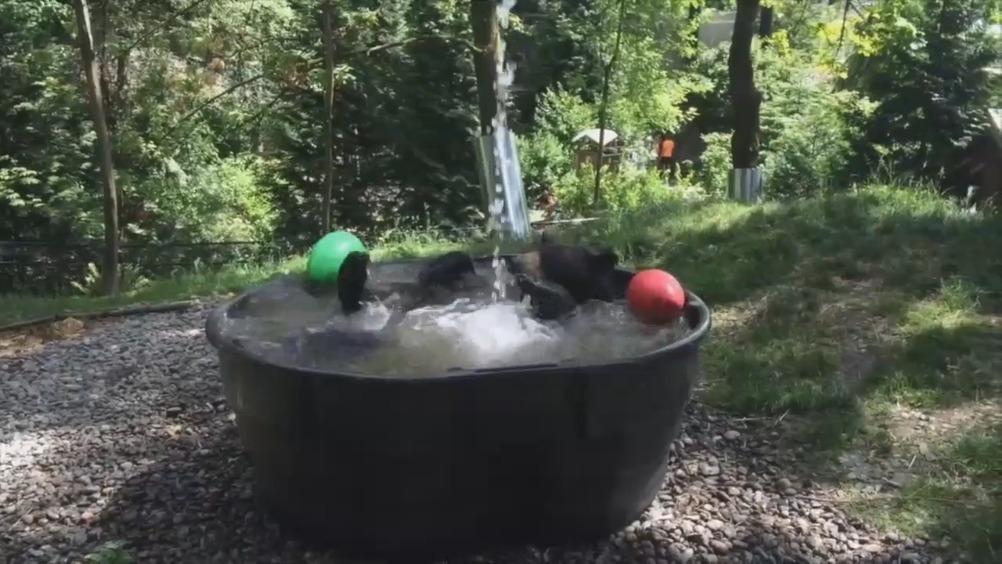 动物皆萌:黑熊大人欢脱玩水