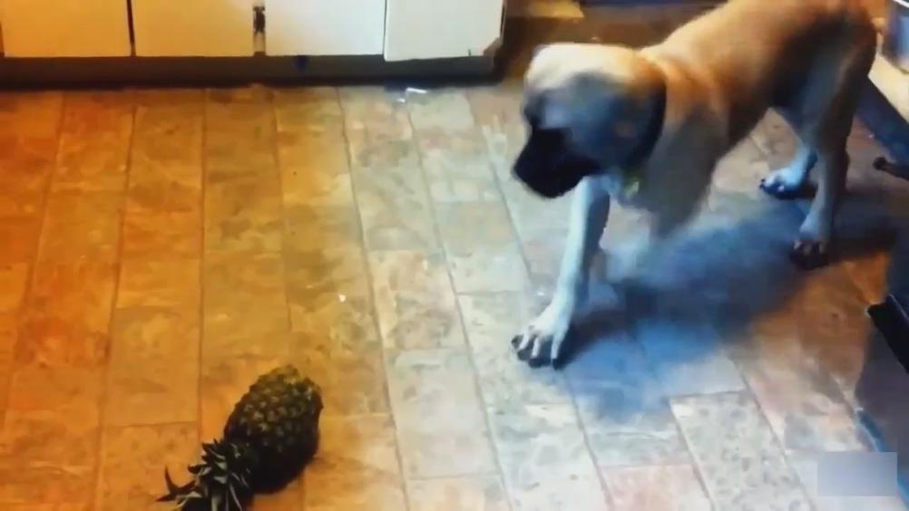 当汪星人面对菠萝