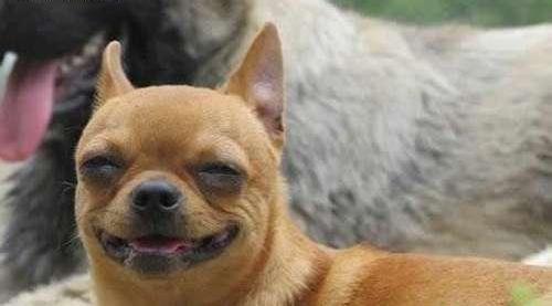 这只狗狗意味深长的笑容着实少见啊,要是做成表情包可以在下面加句话图片