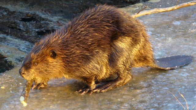 关于动物尾巴的冷知识,功能多得简直不像尾巴!