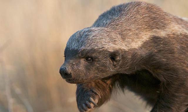 呜呼哀哉! 平头哥蜜獾的7种死法(图)
