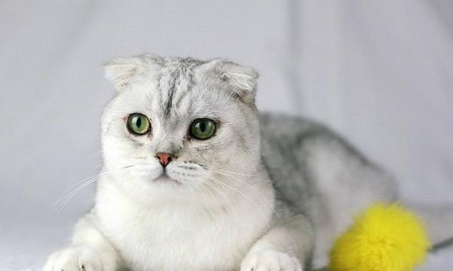 每日一猫 苏格兰折耳猫