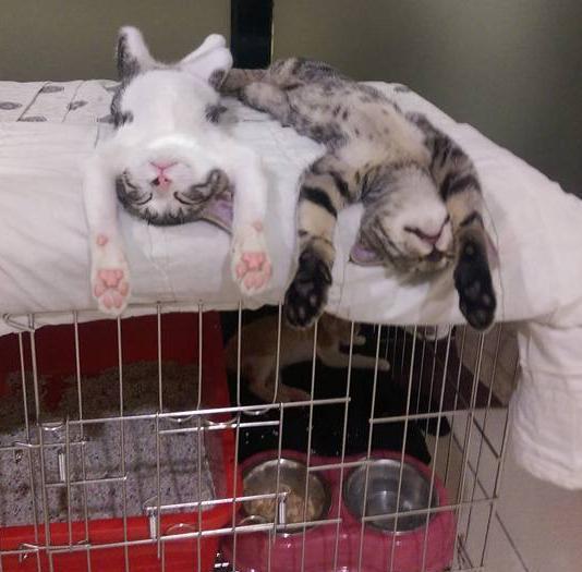 主人让家里两只猫咪好好陪新来的喵,结果一回家却看到两货累瘫了