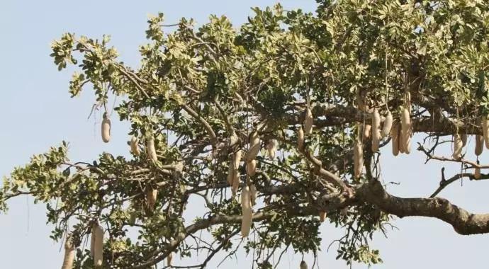 """非洲人最爱的""""水果""""很扛饿,一年都能吃到,果树还可以用来居住图片"""