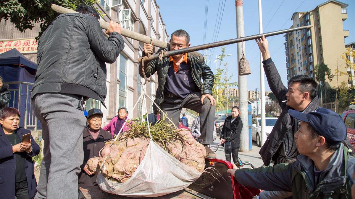 农民种出238斤红薯王,五人才能搬得动,秘诀绝不外露!