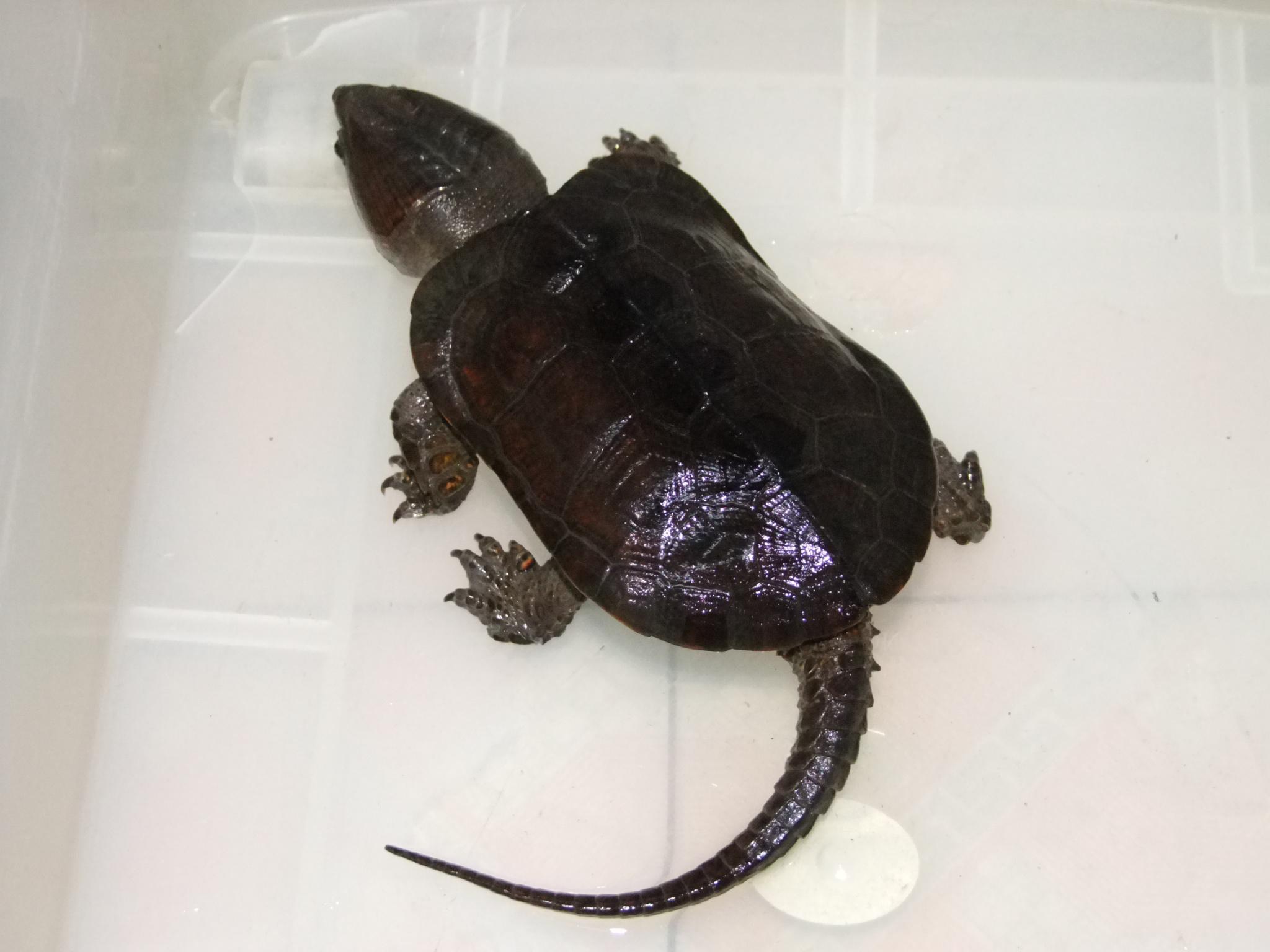 一种永不缩头的乌龟,用它培养出另一种稀有乌龟,售价高达20000图片