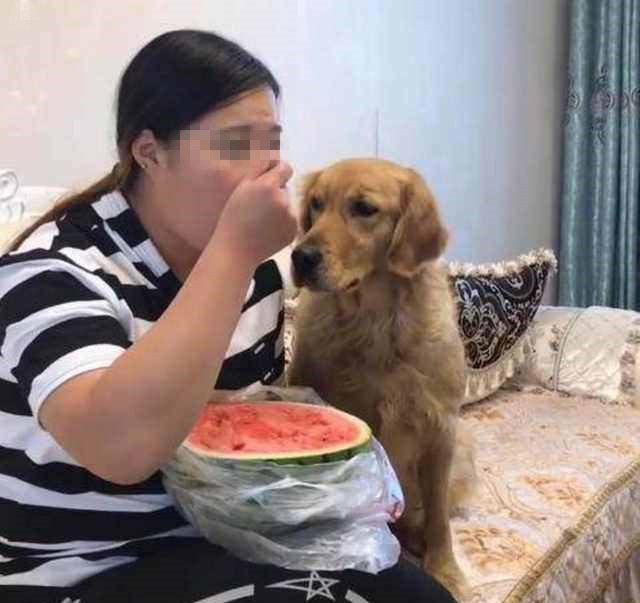 心机边看电视剧边吃西瓜,美女狗大金毛趁机偷吃,铲屎的一脸嗔怪有什么讲出轨的的电视剧图片