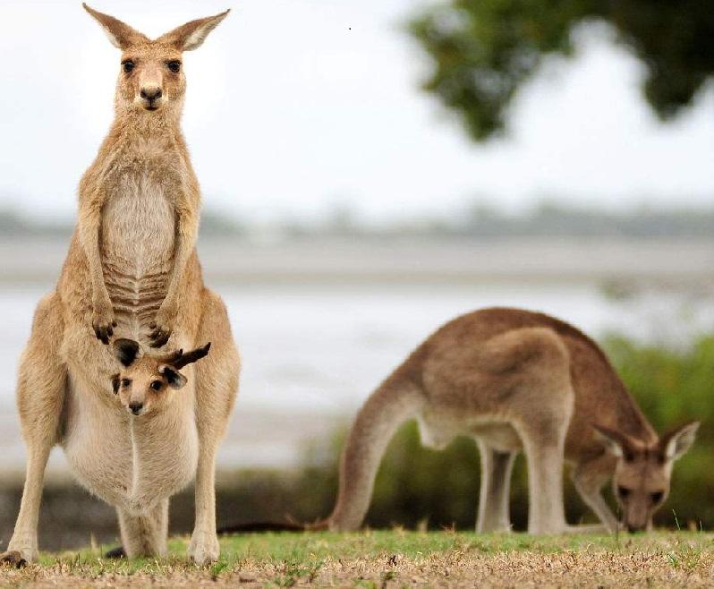 澳洲的生物都独立发展的特性,有袋类动物是隔离演化的产物,澳州的有袋