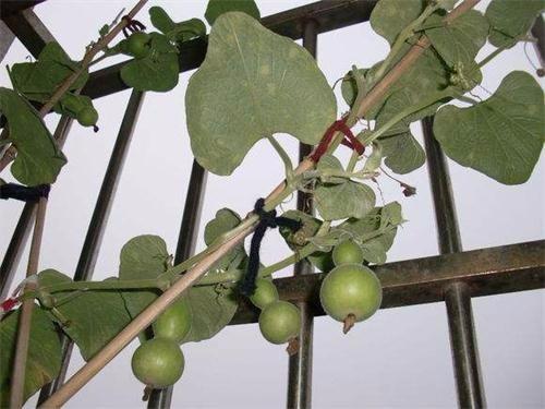 如安在花盆里栽培手捻葫芦?阳台盆栽小葫芦的详细栽培与管理办法