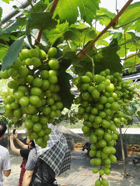 上思县圣峰葡萄园里的阳光玫瑰葡萄日渐成熟