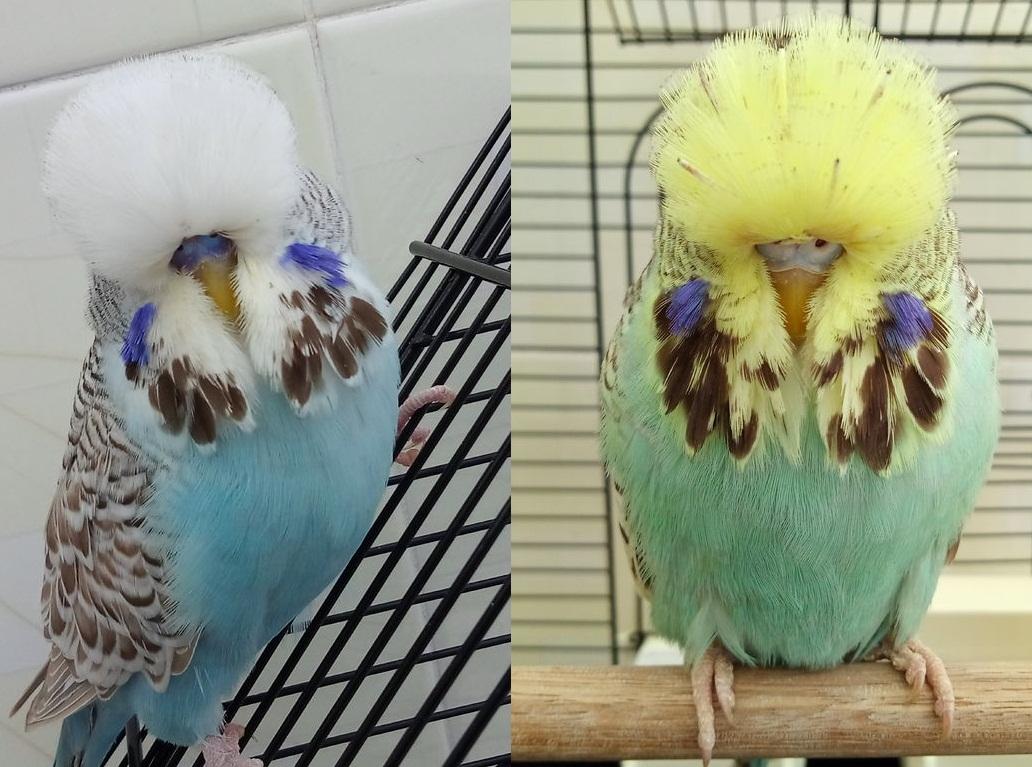 作为宠物的虎皮鹦鹉,有时亲鸟为啥让幼鸟饿死也不给喂食?