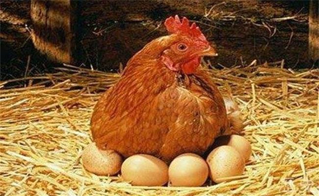 最简单的鸡_淮南笨鸡 安徽笨鸡 安徽白爪笨鸡 安徽笨鸡蛋 安徽笨鸡苗