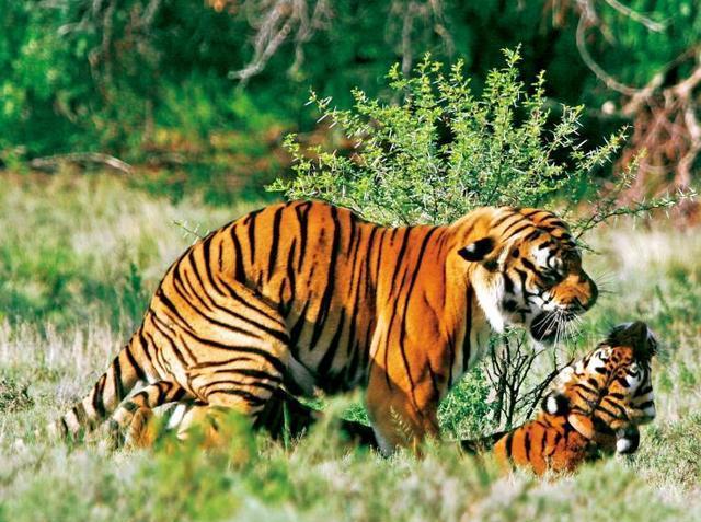 华南虎为何被列为濒危物种