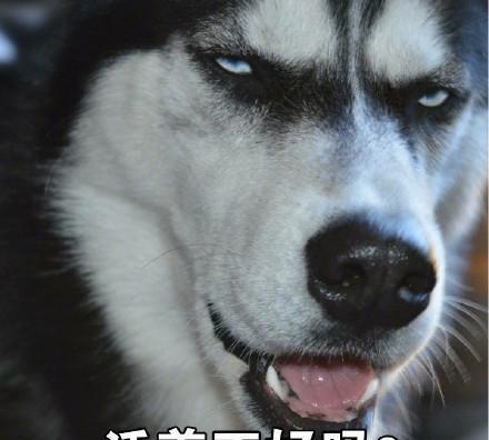 哈士奇表情带字动物表情搞笑图片配字图片