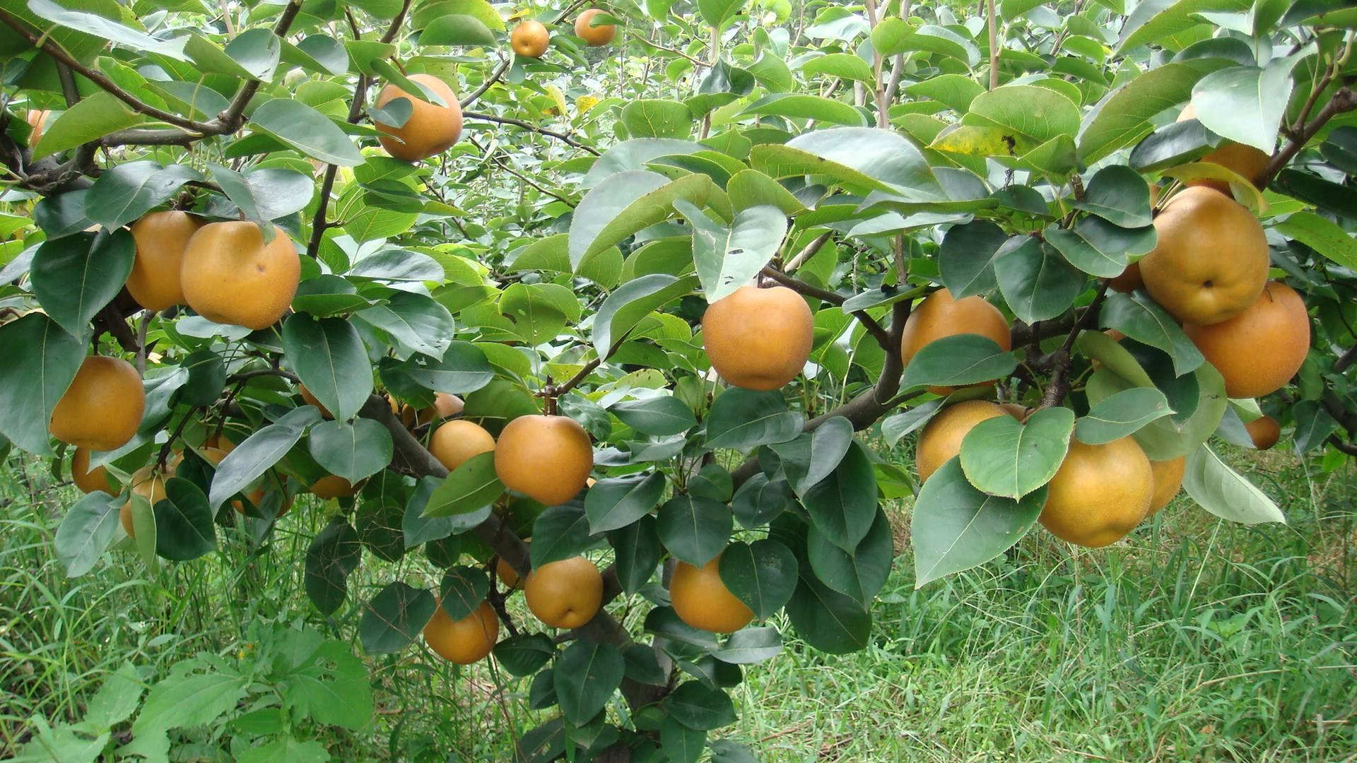 """老人言""""男怕柿子女怕梨,母猪最怕西瓜皮"""",水果还不能吃?"""