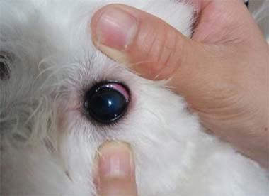 狗狗视频发炎流泪,可是患上了角膜炎了!若昂主播眼睛图片