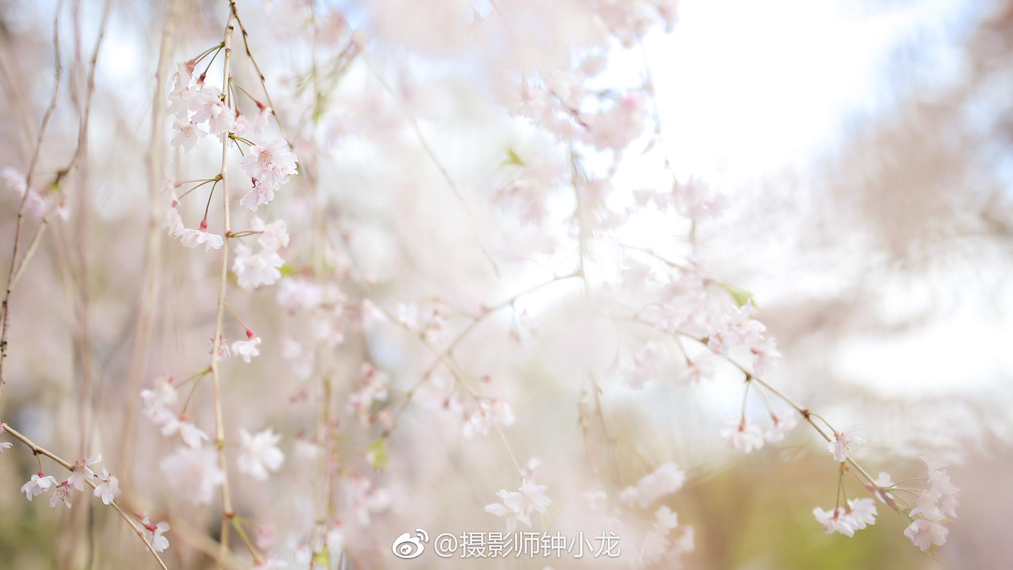 圆木片手绘樱花
