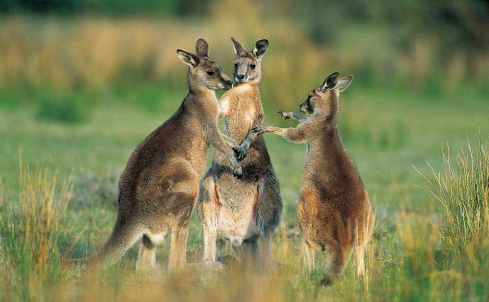 澳大利亚哪些动物既萌又可爱?|袋鼠|鸭嘴兽|澳大利亚