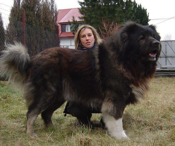 地球上10大最凶猛的犬,比特犬第二,高加索犬榜首,你
