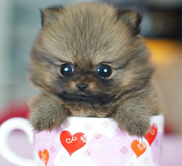 可爱狗狗没有茶杯大,茶杯犬的人为培育经历