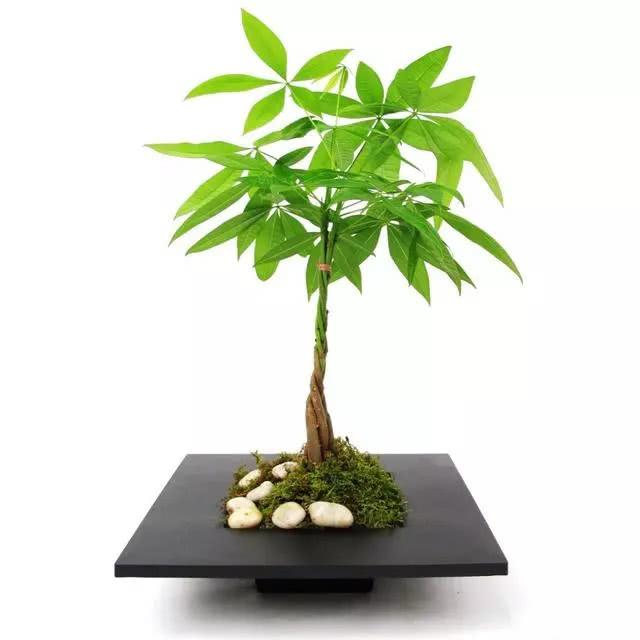 造型独特寓意美好,发财树注意这四点,常年绿油油不再图片