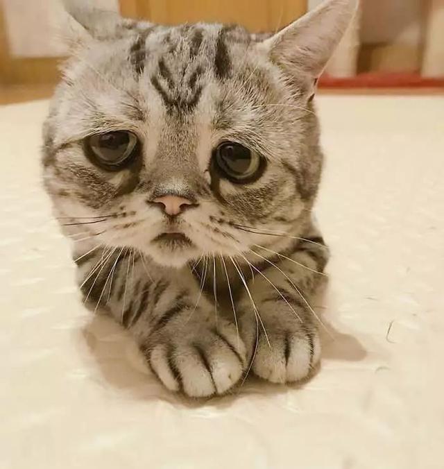 在ins上有一只猫咪红遍网络,只因为它那满脸悲伤的表情,因此网络上的图片