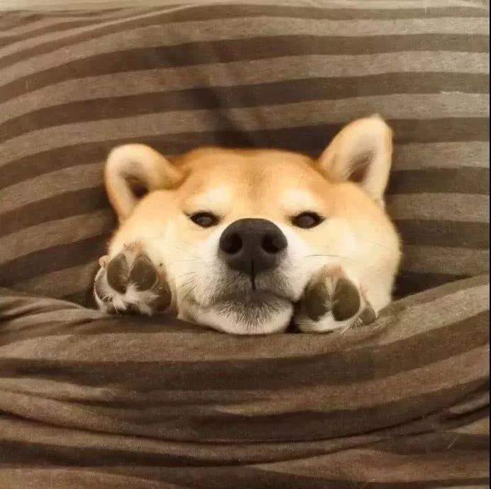 柴犬表情合集有点黄的搞笑动态图片搜索图片