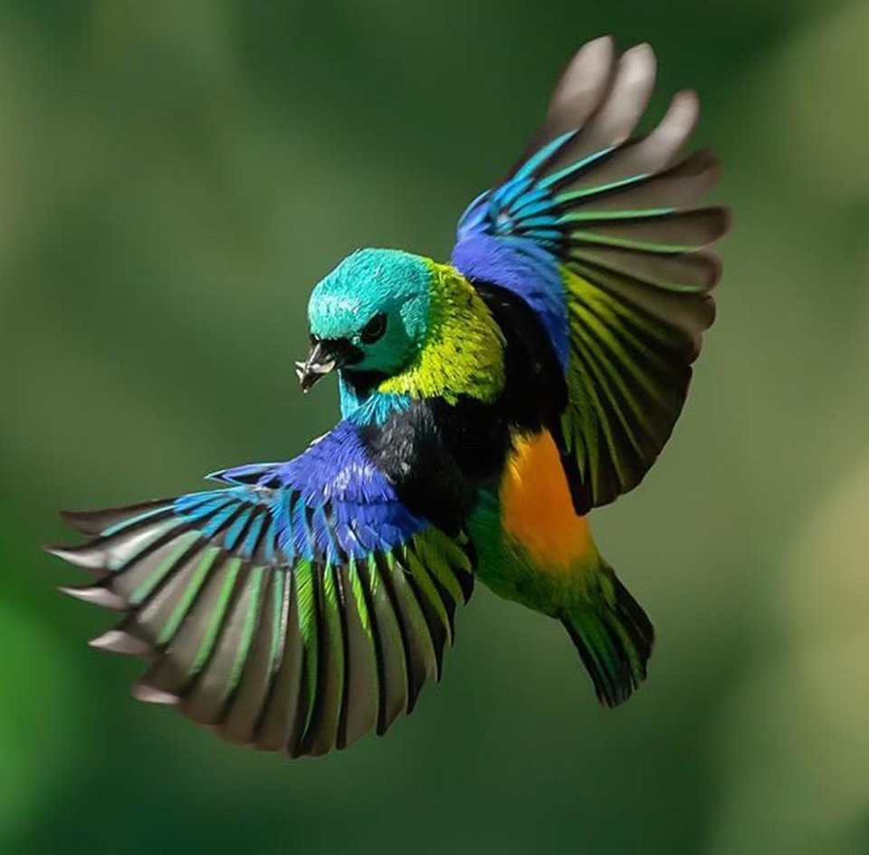 太平鸟|大山雀树蛙如何养殖图片