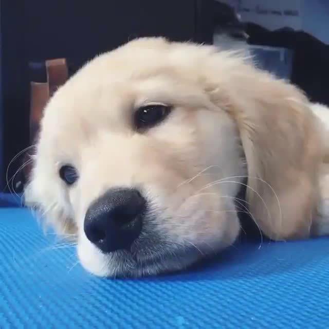 狗狗犯困可爱表情