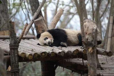 大熊猫黑眼圈变白不是表情!就在成都大熊猫我的天呐表情包高清图片