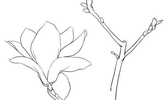 高清白描玉兰花资料,适合临摹学习图片