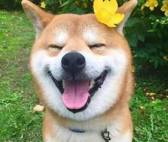 来一波最萌狗狗表情包,那些年用来做头像的表情都还在图片