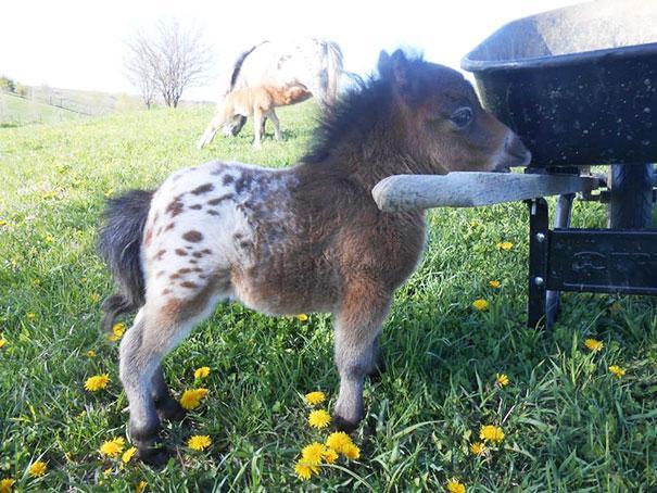 可爱到爆的迷你宠物马,很多人哭着闹着都想养一匹