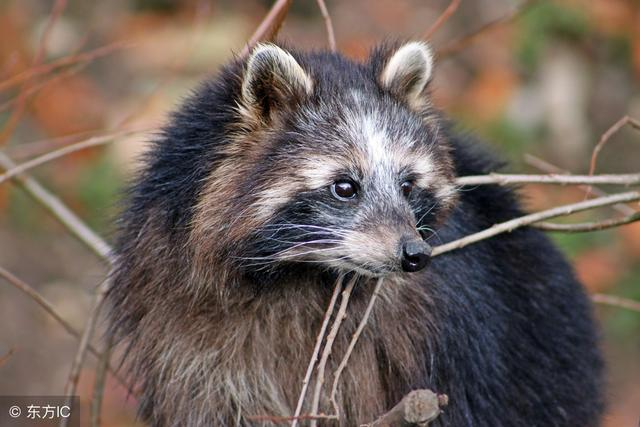 这就是传说中可爱的小浣熊了,萌萌的表情真可爱.