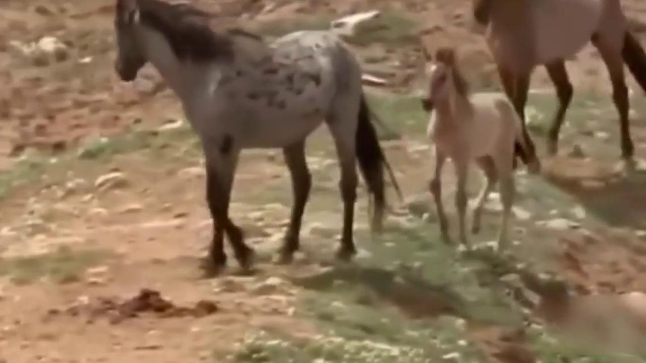 厉害了,公野马求爱母野马不同意血统纯正的野马