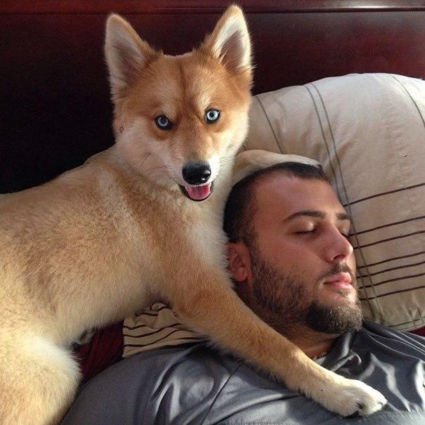 狗跟狐狸杂交_狐狸与狗的杂交品种,当他睁开眼的时候让人惊呼…….
