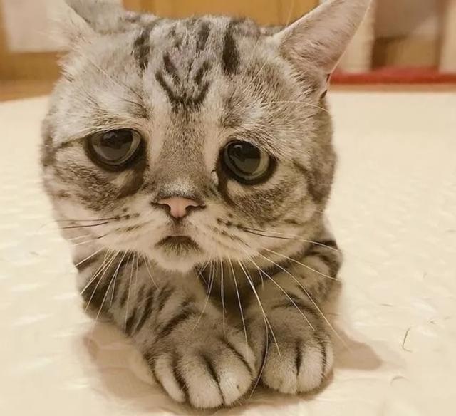 猫咪长了一副委屈脸,被称为