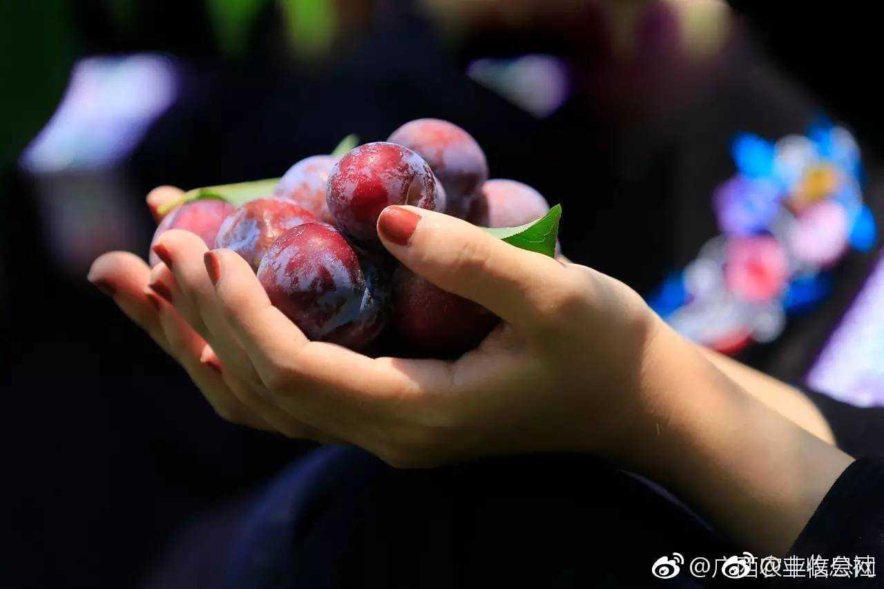 """""""李族皇后""""天峨龙滩珍珠李强势来袭[馋嘴],预计年产2.5万吨"""