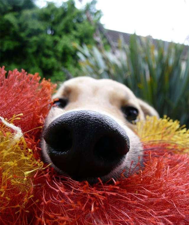 可爱的狗鼻子特写照片搭配后方一脸兴奋好奇的大眼睛