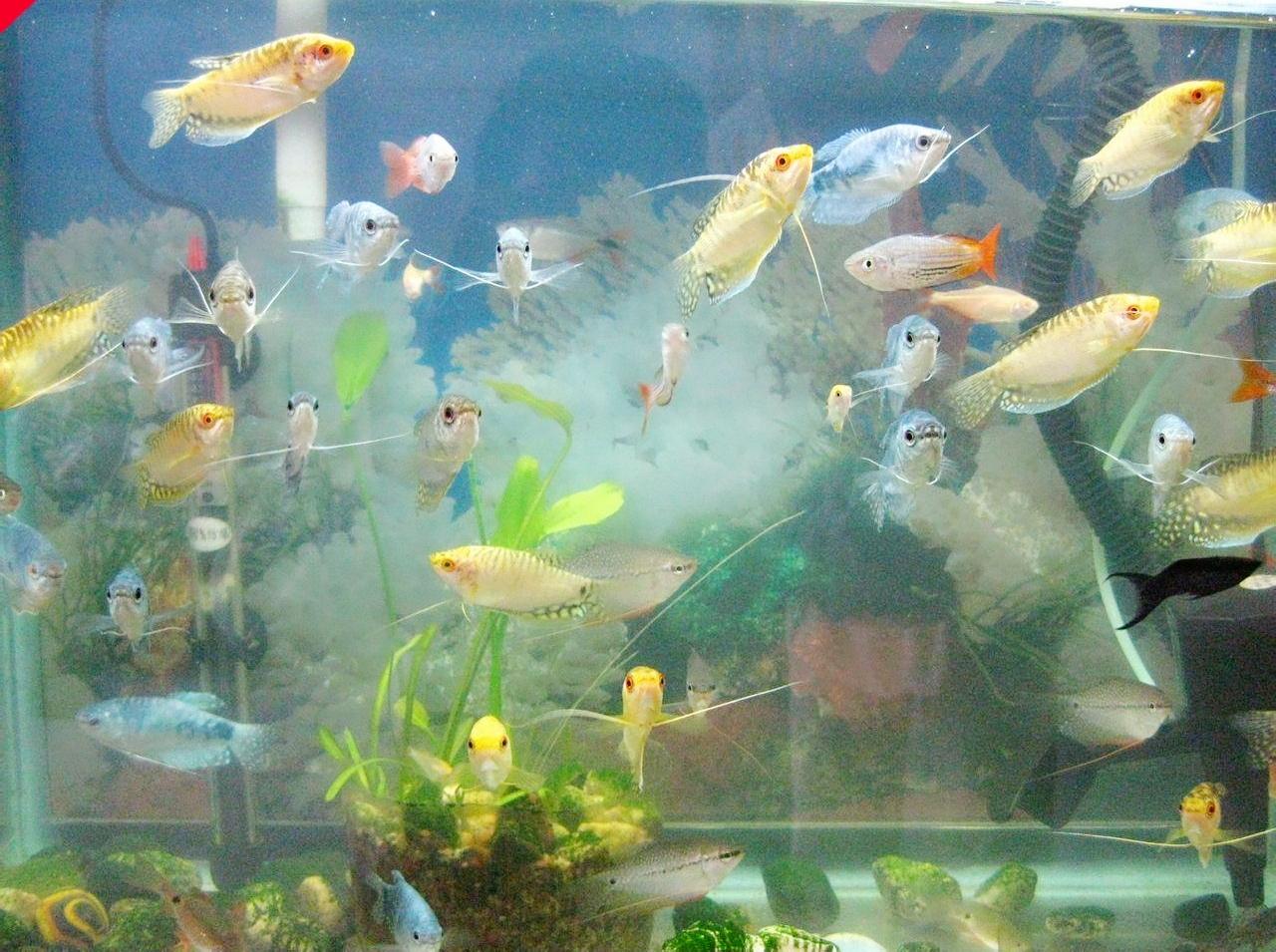 水族箱里吐泡泡的观赏鱼,丽丽鱼