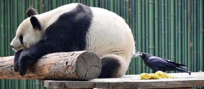 囧哥:乌鸦薅大熊猫的毛发搭窝