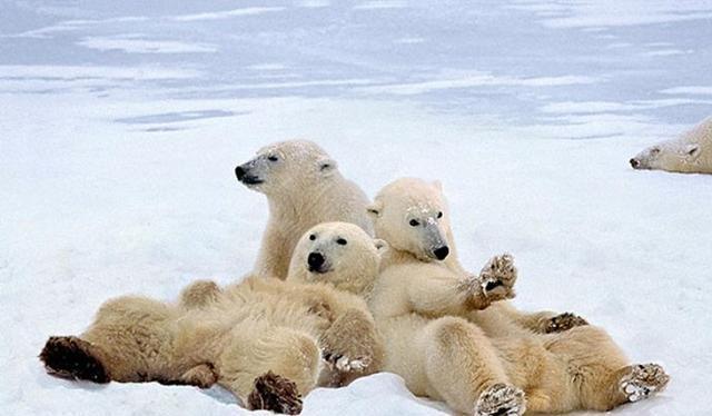 自然界动物家庭最有爱的瞬间!|老虎|北极熊家庭和狮子是同种么图片