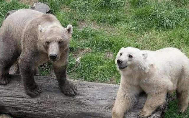 五,灰白熊灰白熊经dna杂交是世界灰熊和雄性北极熊检测的大海.我的后代雌性青蛙1图片