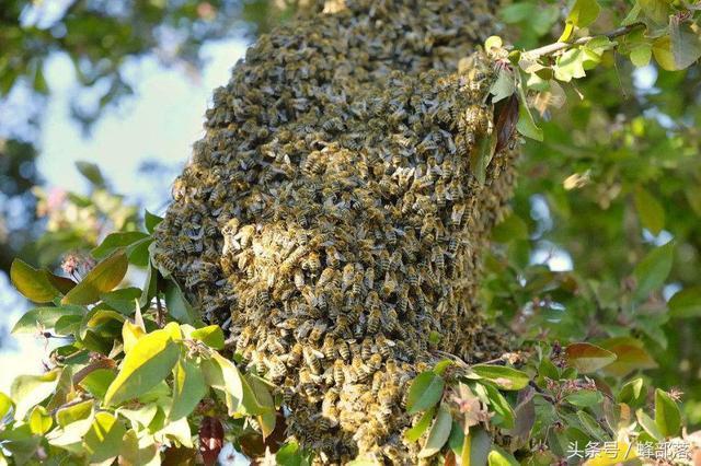 蜘蛛养殖,抗生素的正确避免是?追杀污染蜂产品?大蜜蜂用法比基尼美女图片