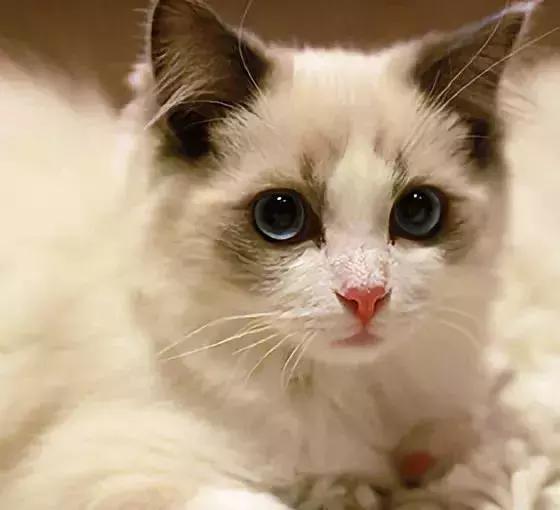 重点色布偶猫