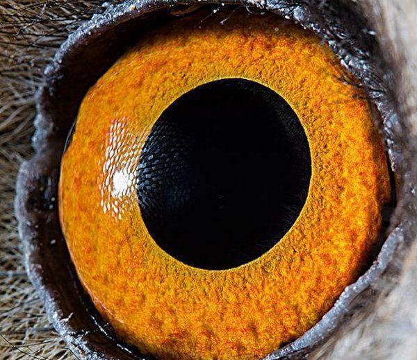 4,长耳鸮的眼睛:长耳鸮属于中国国家二级保护动物.